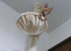 キャットタワーに上るチャイ