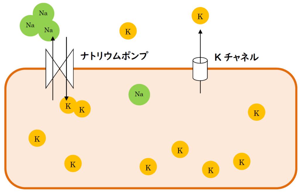 静止電位におけるナトリウムポンプとカリウムチャネルの役割