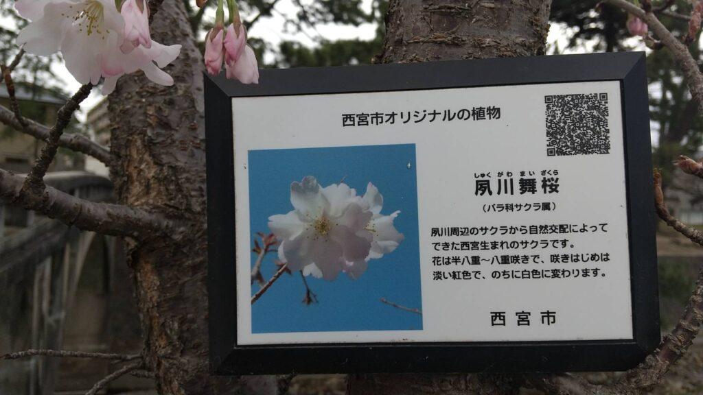 西宮市オリジナルの桜、夙川舞桜