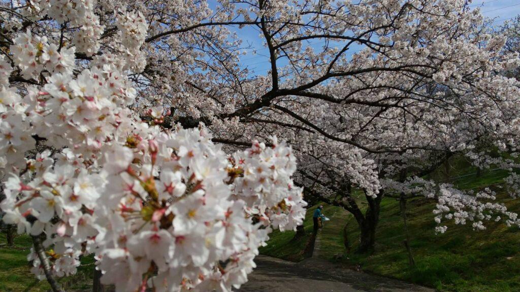 西宮市有数の桜スポット、北山ダムの桜。