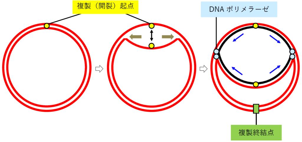 原核生物のDNA複製