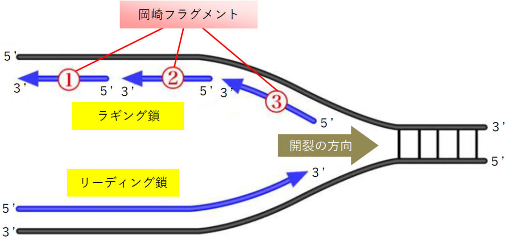 DNA複製におけるリーディング鎖とラギング鎖(岡崎フラグメント)