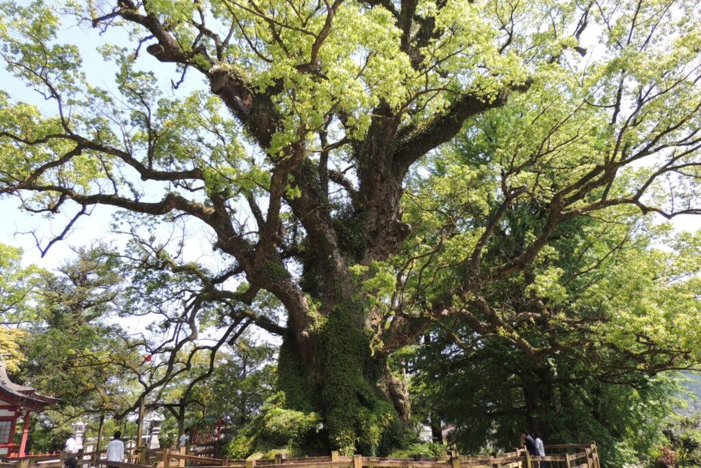 蒲生の大楠(クスノキ)。日本最大の巨木。