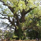 蒲生の大楠。日本最大の巨木。